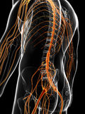 The male nervous system Stock Photography