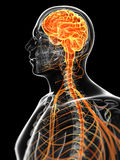 The male nervous system Stock Photos