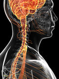 The male nervous system Royalty Free Stock Images