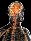 The male nervous system Royalty Free Stock Photos