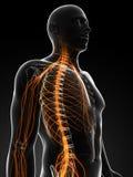 Male nervsystem royaltyfri illustrationer