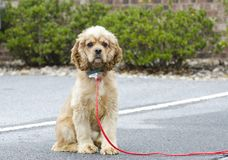 Groomed Cocker Spaniel dog with blue collar and tag. Male neutered groomed buff Cocker Spaniel dog with blue collar and tag on red leash. Outdoor animal adoption Royalty Free Stock Image