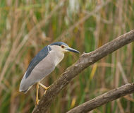 Male Night Heron Royalty Free Stock Image