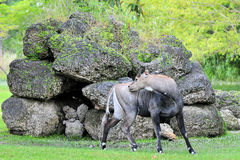 Male Nilgai Antelope Royalty Free Stock Image