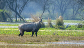 Male Nilgai (Boselaphus tragocamelus) Stock Photo