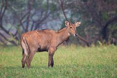 Male Nilgai Boselaphus tragocamelus standing in Keoladeo Ghana. National Park, Bharatpur, India. Nilgai is the largest Asian antelope and is endemic to the Stock Images