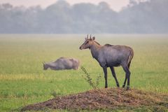 Male Nilgai Boselaphus tragocamelus standing in Keoladeo Ghana. National Park, Bharatpur, India. Nilgai is the largest Asian antelope and is endemic to the Stock Photography