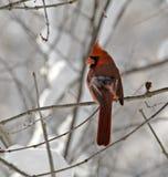 Male nordlig kardinal arkivfoto