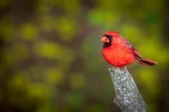 Male nordlig kardinal Perched på en förgrena sig Arkivfoto
