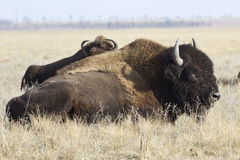 Male North American bison that lies in the steppe Royalty Free Stock Images