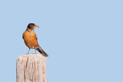 A Male North American Robin Royalty Free Stock Photos