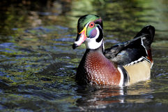 Male North American Wood Duck Royalty Free Stock Photos