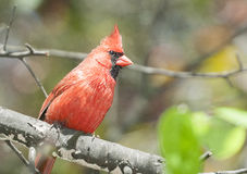 Male norther cardinal Royalty Free Stock Images