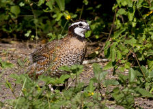 Male northern bobwhite Stock Photo