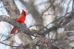 Male Northern cadinal bird Stock Photo