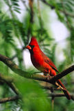 Male Northern Cardinal Royalty Free Stock Photos