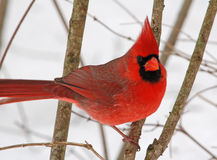 Male Northern Cardinal. Photograph of a male Northern Cardinal in a winter landscape Stock Photography