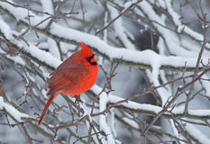 Male Northern Cardinal. Photograph of a brilliant red male northern cardinal perched amidst snow covered branches in a midwestern winter woodland Stock Images