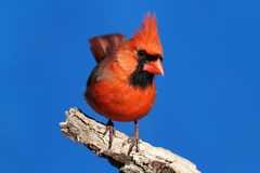 Male Northern Cardinal. (cardinalis cardinalis) on a stump with a blue sky background Royalty Free Stock Photo