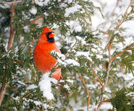 Male Northern cardinal. A beautiful male Northern Cardinal perched on a cedar hedge in the snow Stock Photo