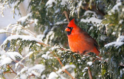 Male Northern cardinal. A beautiful male Northern Cardinal perched on a cedar hedge in the snow Stock Photos
