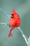 Male Northern Cardinal. Perched On Branch Stock Photo