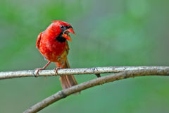 Male Northern Cardinal. Perched On Branch Royalty Free Stock Images