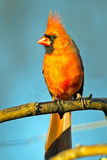 Male Northern Cardinal. Perched On Branch Royalty Free Stock Image