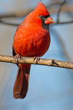 Male Northern Cardinal. Perched On Branch Stock Photos