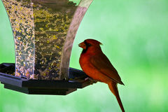 Male Northern Cardinal Royalty Free Stock Photography