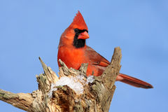 Male Northern Cardinal Royalty Free Stock Photo