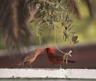 Male northern cardinal beak feeding a juvenile cardinal. On the top of a wall Stock Photos
