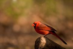 Male Northern Cardinal bird Stock Photo