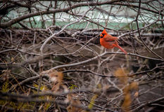 Male Northern Cardinal Bird at Central Park - New York, USA. Male Northern Cardinal Bird at Central Park in New York, USA Royalty Free Stock Image