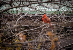 Male Northern Cardinal Bird at Central Park - New York, USA. Male Northern Cardinal Bird at Central Park in New York, USA Royalty Free Stock Images