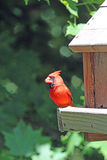 Male Northern Cardinal on a Bird Feeder in Minnesota Stock Photography