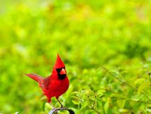 Male Northern Cardinal bird Royalty Free Stock Images