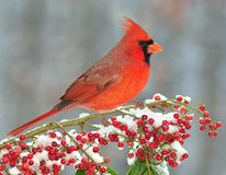 Male Northern Cardinal (Cardinalis cardinalis). A beautiful male Northern Cardinal on a snowy branch laden with bright red berries Royalty Free Stock Photography