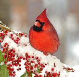 Male Northern Cardinal (Cardinalis cardinalis) royalty free stock image