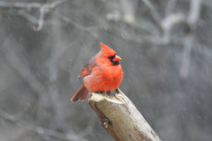 Male Northern Cardinal (cardinalis cardinalis) Stock Images