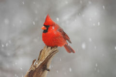 Male Northern Cardinal (cardinalis cardinalis) Stock Image