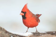 Cardinal In Snow Royalty Free Stock Photography