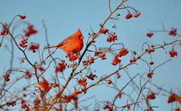Male Northern Cardinal eating red berries. Male Northern Cardinal Cardinalis cardinalis eating red berries in the wild stock photography