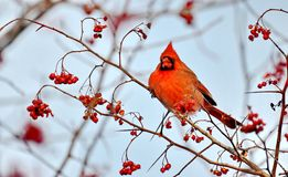 Male Northern Cardinal eating red berries. Male Northern Cardinal Cardinalis cardinalis eating red berries in the wild stock image
