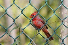 A Male northern cardinal Cardinalis cardinalis perched in a fence foraging for seeds. A vibrant red bird with a green metal fenc. A Male northern cardinal stock images