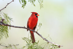 Male Northern Cardinal - Texas. Male Northern Cardinal (Cardinalis cardinalis) - Texas Stock Images
