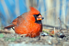Male Northern Cardinal. Eating a Berry stock photo