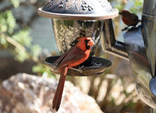 Male northern cardinal eating from a feeder. Hanging near the floor Royalty Free Stock Photo