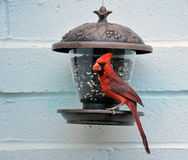 Male northern cardinal eating from a feeder. Hanging on the wall Royalty Free Stock Images
