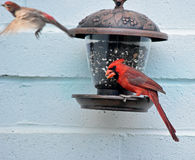 Male northern cardinal eating from a feeder. Hanging on the wall with a house finch leaving the feeder Royalty Free Stock Image